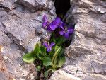 Viola odorata (Wohlriechendes Veilchen) / Violaceae