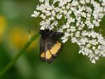 Psodos quadrifaria (Gelbgebänderter Flachstirnspanner) / CH OW Glaubenberg Schlierental 1440 m, 11. 07. 2013