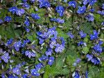 Veronica chamaedrys (Gamander Ehrenpreis) / Scrophulariaceae
