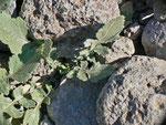 Pontia daplidice (Resedafalter, Eiablagepflanze) / España Kan. Inseln, Gran Canaria Barranco de Tasartico 150 m, 07. 01. 2013