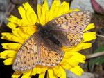 Boloria pales (Hochalpen-Perlmuttfalter, Weibchen mit Parasit) / CH VS Turtmanntal Gruben-Gigi 2358 m, 27. 08. 2009
