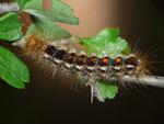 Euproctis chrysorrhoea (Dunkler Goldafter) / CH TI Biasca-Loderio, Ganne di Mornatt 600 m, auf Crataegus monogyna