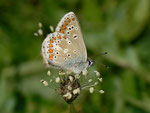 Polyommates thersites (Esparsetten-Bläuling) / CH UR Brunnital, Brunni 1406 m, 15. 07. 2013