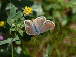 Polyommatus icarus (Hauhechelbläuling, Weibchen bei der Eiablage) CH BE Hasliberg 1050 m, 05. 06. 2014