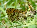 Melitaea phoebe (Flockenblumen-Scheckenfalter) /  CH TI Valle di Muggio 1007 m, 25. 06. 2012