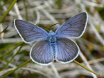 Polyommatus semiargus (Violetter Waldbläuling, Männchen) / CH VS Val d'Anniviers Zinal Barneuza 2203 m, 04. 07. 2011