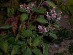 Origanum (Dost) / Lamiaceae