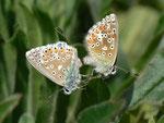 Polyommatus bellargus (Himmelblauer Bläuling, Paarung) / CH BE Hasliberg 1050 m, 25. 05. 2014