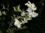 Filipendula ulmaria (Echtes Mädesüss) / Rosaceae