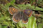 Lycaena tityrus (Brauner Feuerfalter, Weibchen) / CH BE Hasliberg, 15 08. 2006