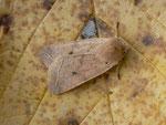 Agrochola macilenta (Gelbbraune Herbsteule) / CH BE Hasliberg 1050 m, 30. 10. 2016