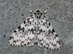Lymantria monacha (Nonne) / CH BE Hasliberg 1050 m, 28. 07. 2011