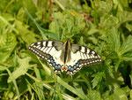 Papilio machaon (Schwalbenschwanz) / CH GL Näfels Boggenberg 1256 m, 18. 05. 2016