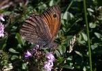 Hyponephele lycaon (Kleines Ochsenauge, Männchen) / CH VS Champex, 09. 08. 2005