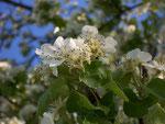 Pyrus communis (Birnbaum) / Rosaceae