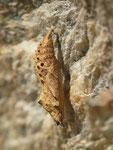 Aglais urticae (Kleiner Fuchs, Puppe) / CH VS Saas-Fee, Bodmen 1772 m, 07. 09. 2017