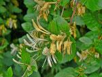 Lonicera / Caprifoliaceae