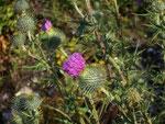 Cirsium vulgare (Gemeine Kratzdistel) / Asteraceae