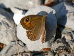 Lasiommata petropolitana (Braunscheckauge, Weibchen) / CH BE Hasliberg 1180 m, 07. 07. 2013