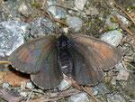Erebia tyndarus (Schillernder Mohrenfalter, Weibchen) / CH VS Grimentz 1720 m, 11. 10. 2010