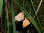 Ennomos quercinaria (Eichen-Zackenrandspanner) / CH BE Hasliberg 1060 m, 05. 08. 2015
