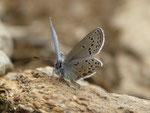 Plebejus optilete (Moor-Heidelbeer-Bläuling, Männchen) / CH TI Ritom Piora El Pinett 2000 m, 03. 08. 2017
