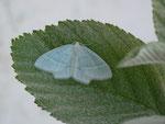 Jodis lactearia (Laubwald-Grünspanner, Falter aus Zucht) / CH BE Hasliberg 1070 m, 12. 06. 2014 (Zuchtfalter)