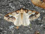 Erannis defoliaria (Grosser Frostspanner) / CH BE Hasliberg 1050 m, 30. 10. 2011