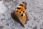 Nymphalis polychloros (Grosser Fuchs) / CH BE Hasliberg 1050 m, 18. 08. 2006