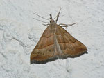 Hypena proboscidalis (Nesselschnabel-Eule) / CH BE Hasliberg 1050 m, 08. 07. 2013