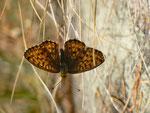 Brenthis ino (Violetter Silberfalter) / CH TI Forcapass 1975 m, 03. 10. 2014