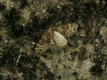 Ecliptopera silaceata (Braunleibiger Springkrautspanner) / CH BE Hasliberg 1240 m, 11. 07. 2015