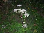 Angelica sylvestris (Apiaceae)