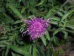 Centaurea jacea (Gemeine Flockenblume) / Asteraceae