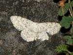 Scopula marginepunctata (Randfleck-Kleinspanner) / CH BE Hasliberg 1050 m, 16. 09. 2012
