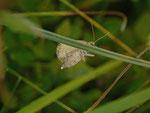 Eulithis populata (Veränderlicher Haarbüschelspanner, Weibchen Eiabwurf) / CH GR Camischolas Pegn dil Capi 1850 m, 30. 08. 2013