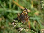 Hamearis lucina (Frühlings-Scheckenfalter) / CH GR Rona 1420 m, 07. 06. 2014