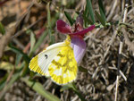 Anthocharis euphenoides (Gelber Aurorafalter, Weibchen) / E Andalusien, Almeria, Sierra de los Filabres, Ermita de Monteagud 1270 m, 03. 05. 2012