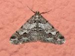 Agriopis leucophaearia (Weissgrauer Breitflügelspanner) / CH VS Gampel-Jeizinen 660 m (an Kapellenwand)