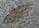 Ectropis crepuscularia (Rinden-Zackenbindenspanner) / CH VS Ravoire 1150 m, 19. 04. 2011