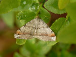 Macaria liturata (Violettgrauer Eckflügelspanner) / CH BE Hasliberg 1060 m, 16. 05. 2014