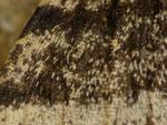 Lycia hirtaria (Schwarzfühler-Dickleibspanner, Männchen, Flügelschuppen) / CH BE Hasliberg 1050 m, 09. 04. 2018