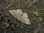 Hydria (Rheumaptera) undulata (Wellenspanner) / CH OW Glaubenberg Schlierenwald 1435 m, 11. 07. 201