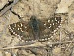 Pyrgus onopordi (dasselbe Weibchen wie oben) / Spanien, Region Valencia, Alcoy - Benasau 1180 m, 04. 05. 2012