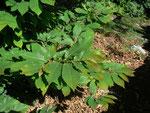 Aesculus hippocastanum (Rosskastanie) / FAGACEAE