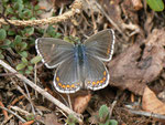 Polyommatus bellargus (Himmelblauer Bläuling, Weibchen) / CH BE Hasliberg 1150 m, 26. 04. 2014