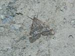 Evergestis sophialis / CH VS Saastal, Saas Almagell, Moosgufer 1660 m, 21. 08. 2013