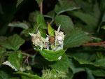 Rubus idaeus (Himbeere) / Rosaceae