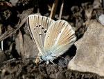 Polyommatus damon (Grünblauer Bläuling, Männchen) / CH VS Montagne de Fecon 1590 m, 07. 08. 2012