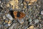 Euphydryas cynthia (Veilchen-Scheckenfalter) / CH VS Lac Mauvoisin 2460 m, 18. 07. 2006